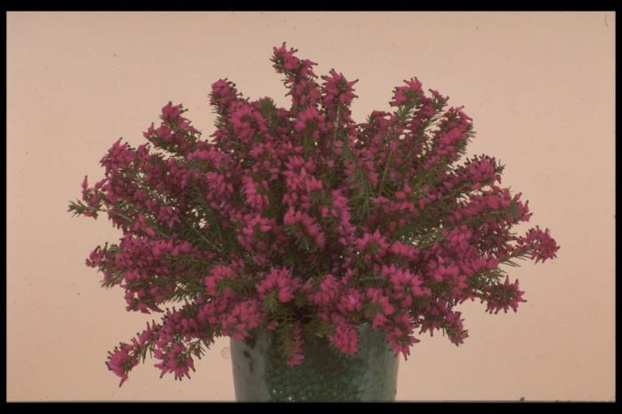 heather 'Myretoun Ruby'