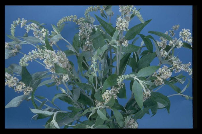white-flowered Chinese butterfly bush