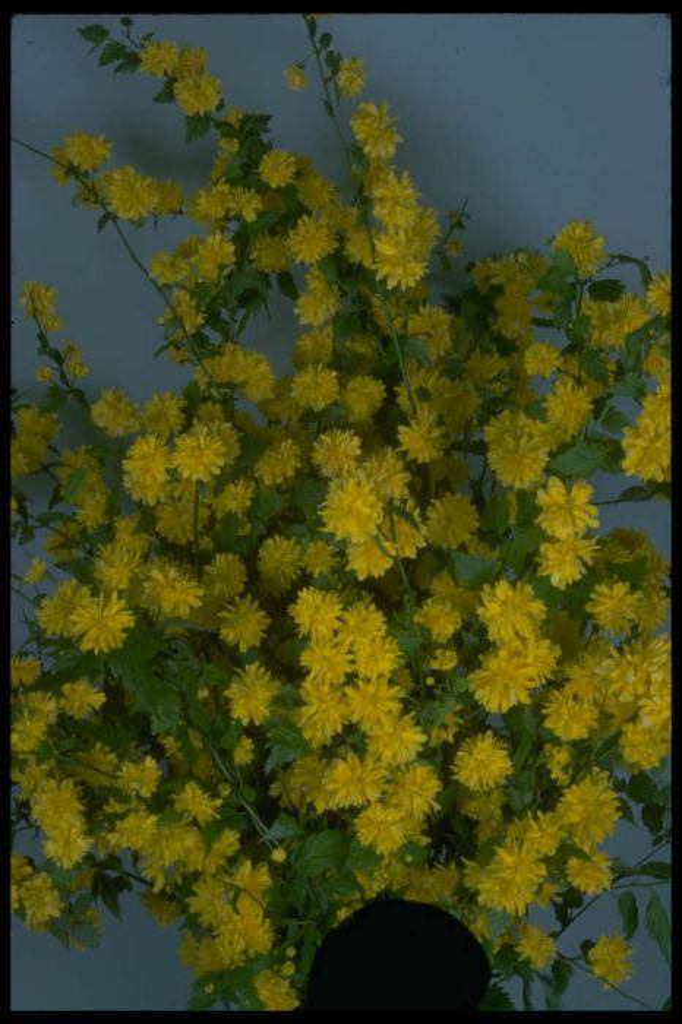 kerria japonica 39 pleniflora 39 d bachelor 39 s buttons rhs gardening. Black Bedroom Furniture Sets. Home Design Ideas