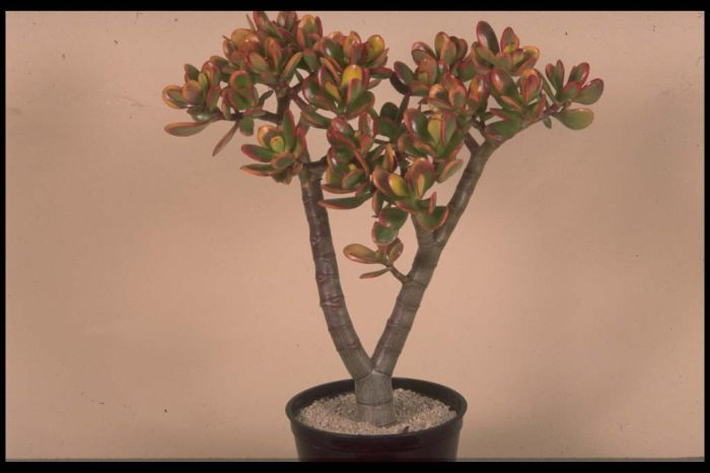 jade plant 'Hummel's Sunset'