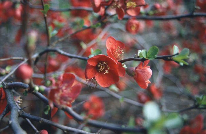 Japanese quince 'Nicoline'