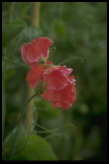 sweet pea 'Dave Thomas'