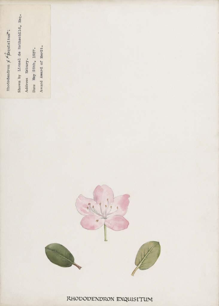 rhododendron 'Exquisitum'