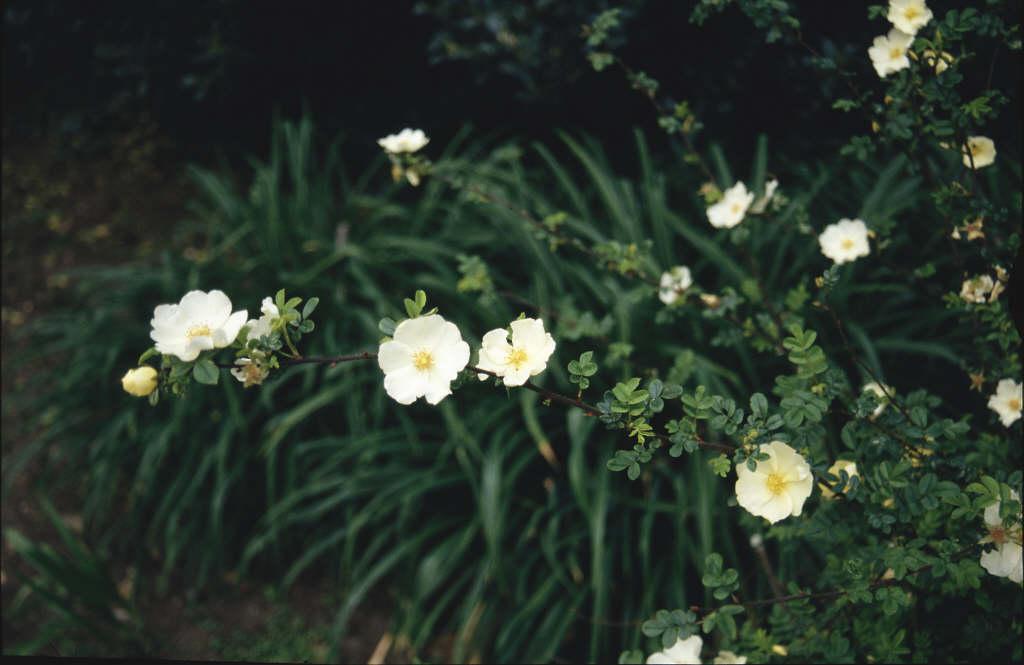rose 'Cantabrigiensis'