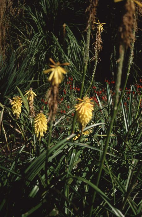 red-hot poker 'Buttercup'