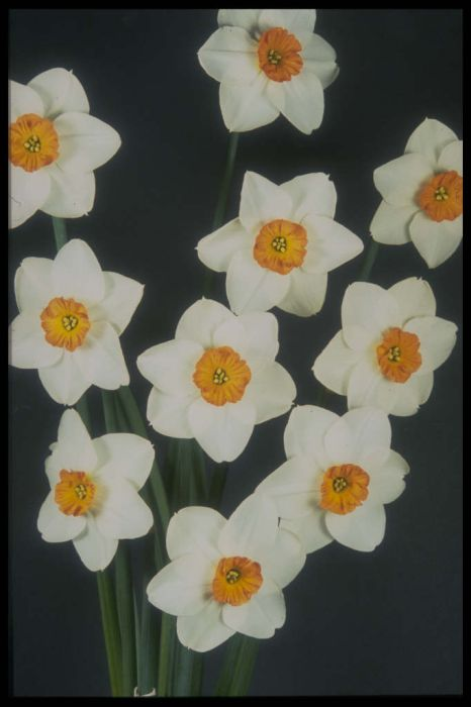 daffodil 'Doctor Hugh'