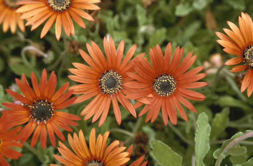 African daisy 'Mahogany'