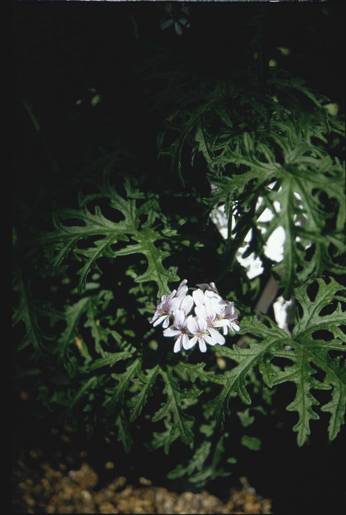 pelargonium 'Lara Candy Dancer'