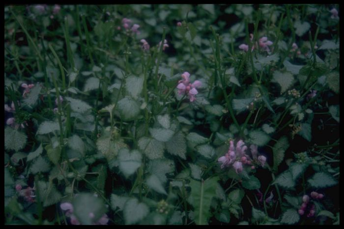 spotted deadnettle 'Pink Pewter'