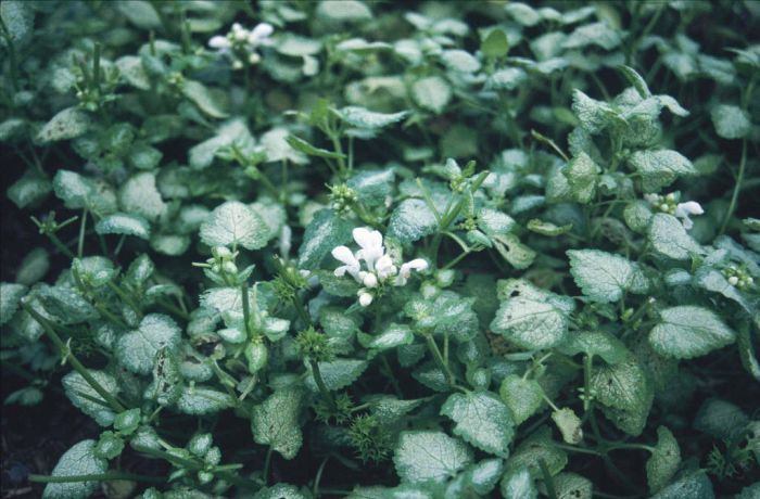 spotted deadnettle 'White Nancy'