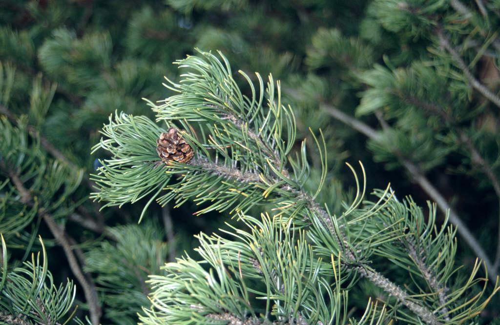 dwarf mountain pine