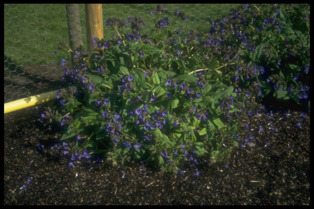 lungwort 'Blue Ensign'