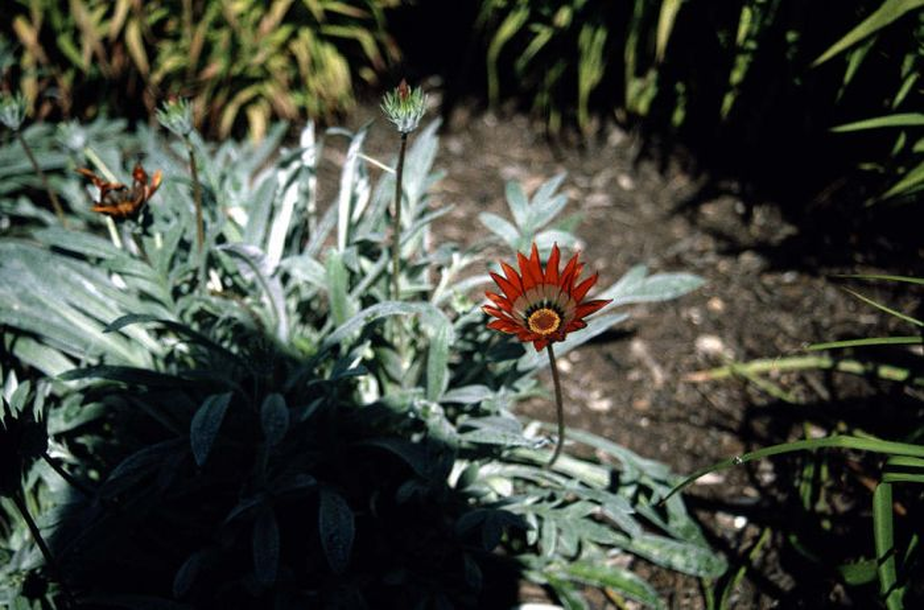 treasure flower 'Cookei'