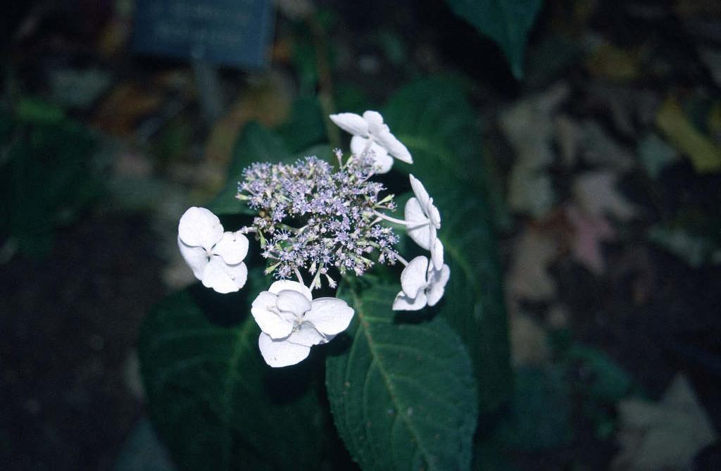 hydrangea 'Rosalba'