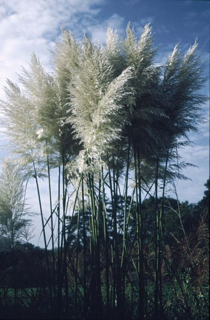pampas grass 'Sunningdale Silver'
