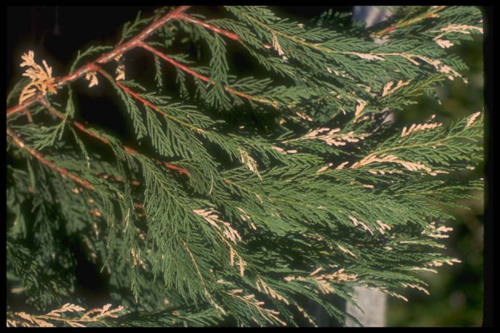 Leyland cypress 'Silver Dust'