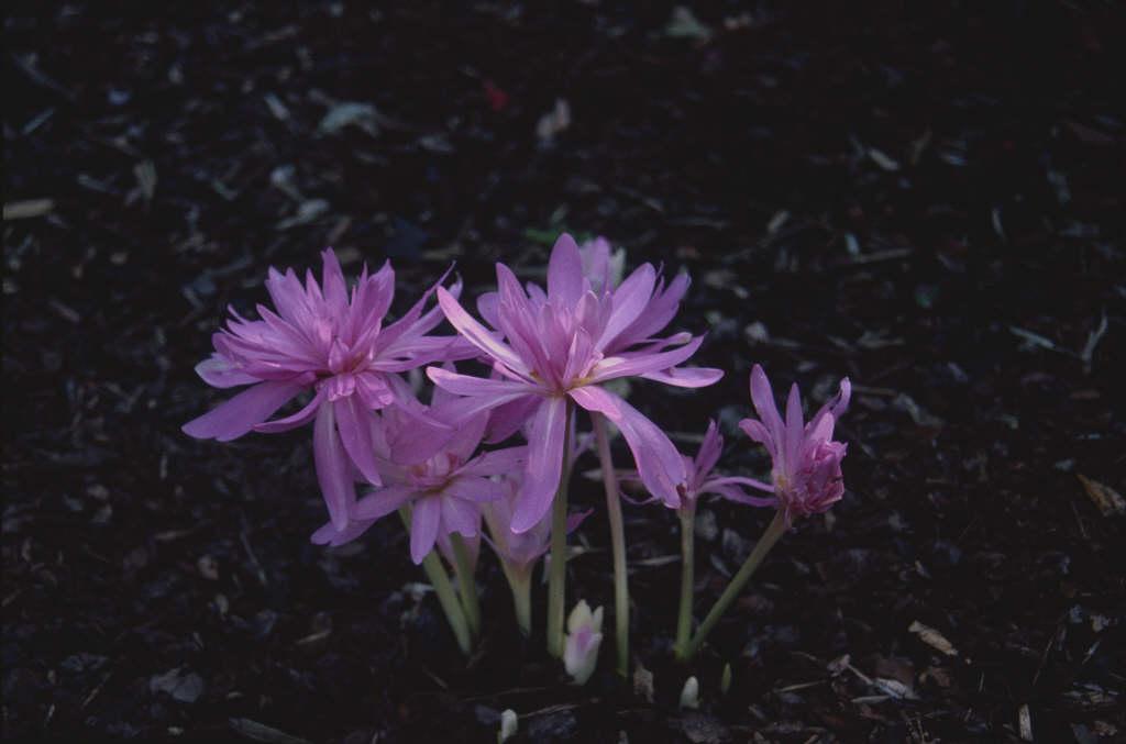 meadow saffron 'Waterlily'