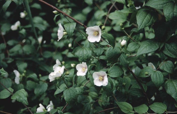 mock orange 'Sybille'