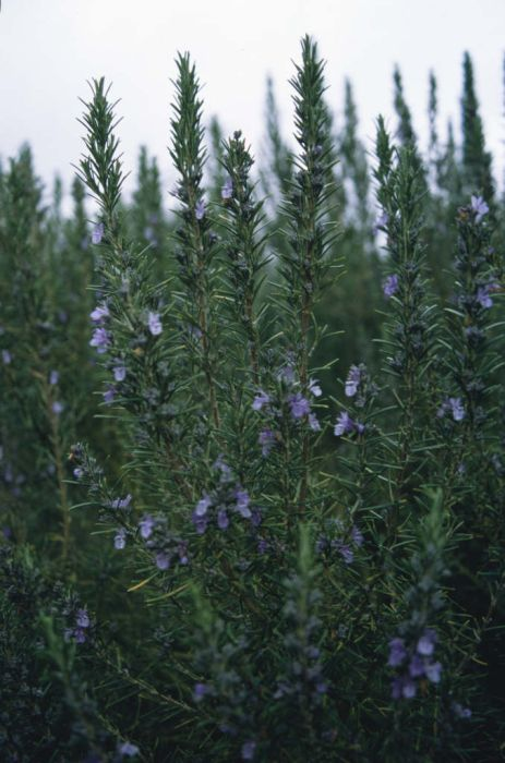 rosemary 'Sissinghurst Blue'