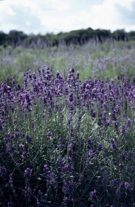 English lavender 'Hidcote'