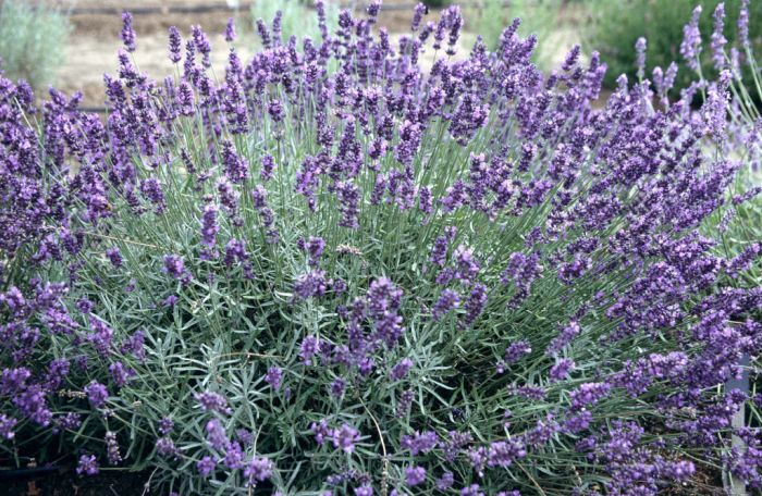 English lavender 'Imperial Gem'