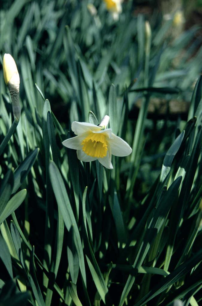 daffodil 'Irish Minstrel'