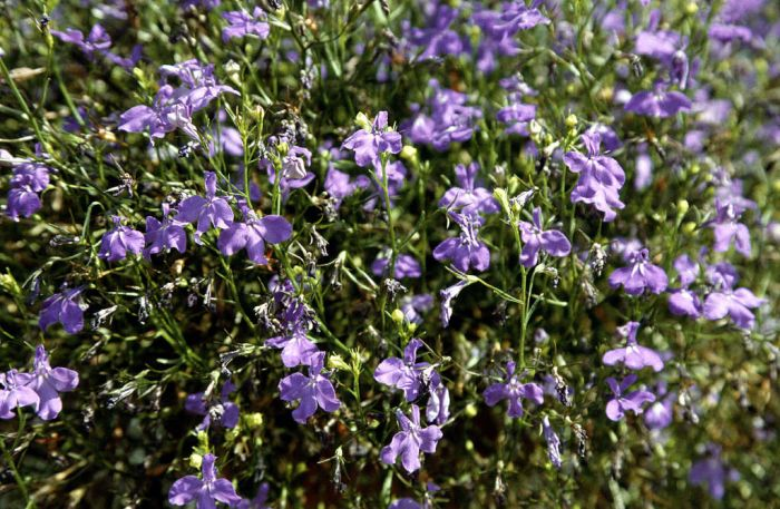 trailing lobelia 'Regatta Midnight Blue'