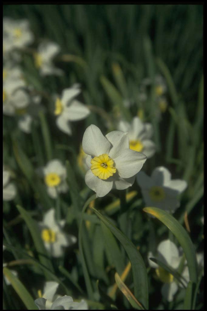 daffodil 'Segovia'