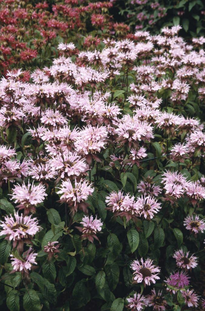 bergamot 'Beauty of Cobham'
