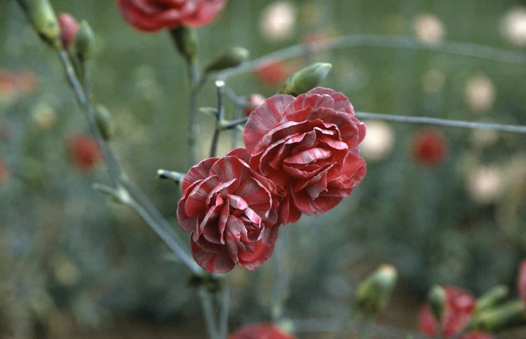 border carnation 'Eileen Neal'