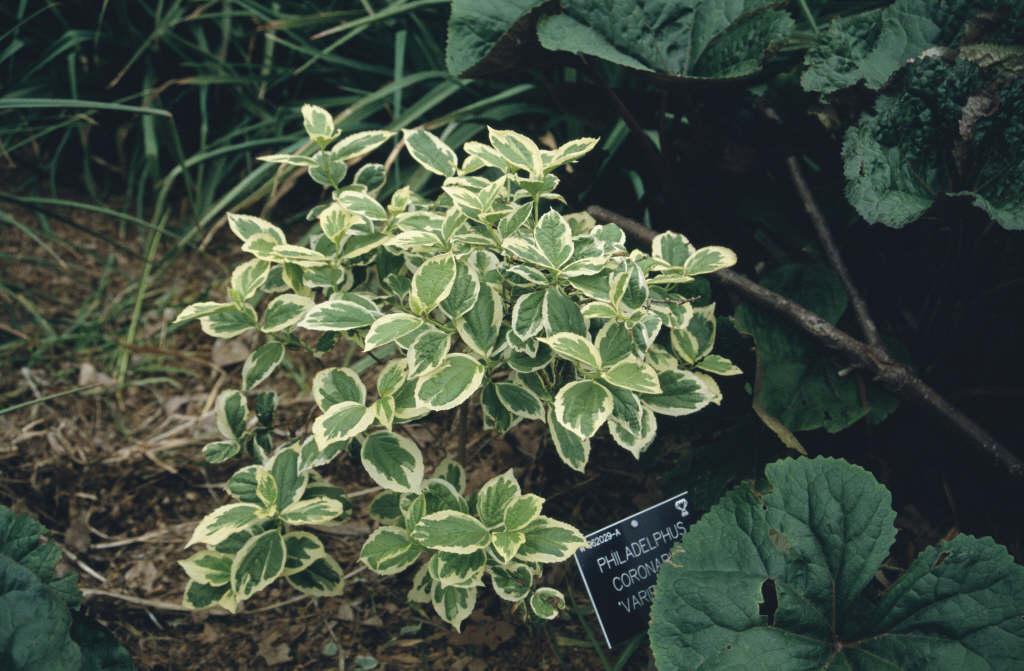 variegated mock orange