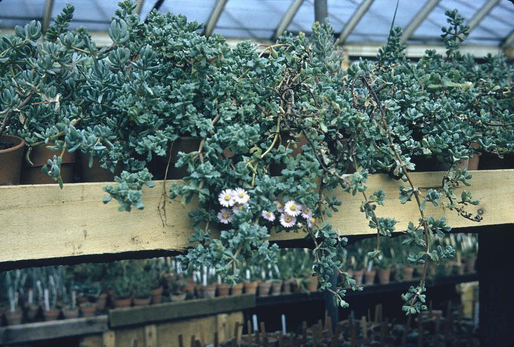 deltoid-leaved dew plant
