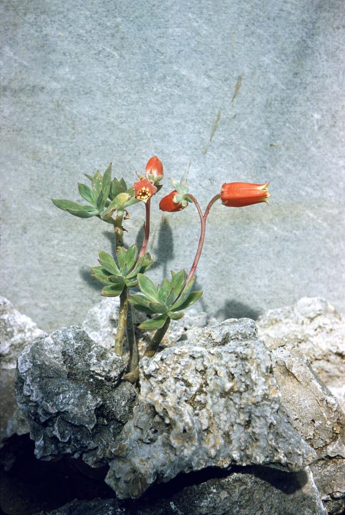 red echeveria