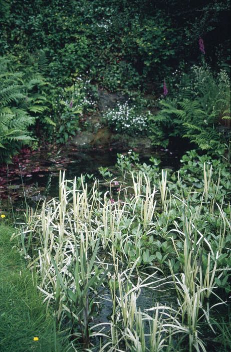 variegated reed sweet-grass