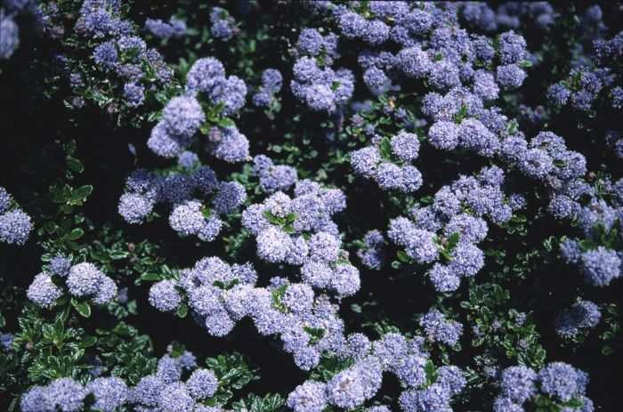 Californian lilac 'Blue Mound'