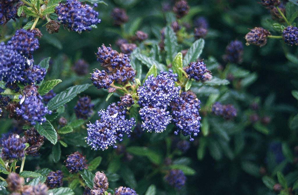 Californian lilac 'Concha'