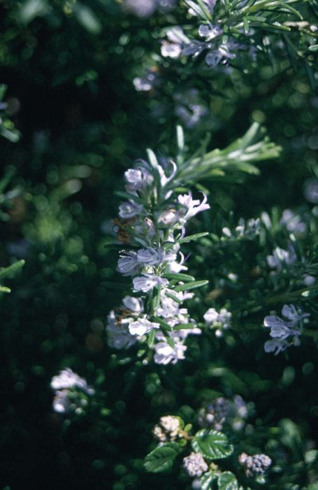 rosemary 'Miss Jessopp's Upright'
