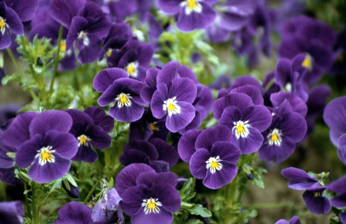 pansy 'Velour Purple and White'