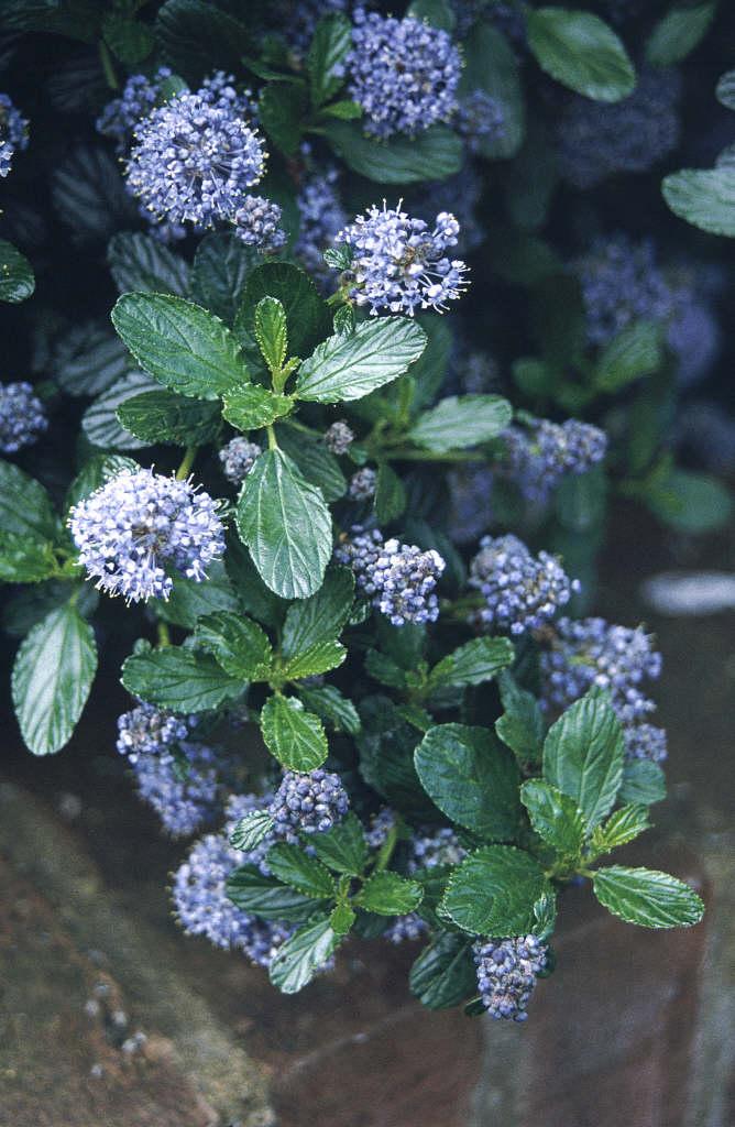 Ceanothus Thyrsiflorus Var Repens Creeping Blue Blossom
