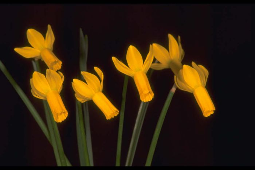 daffodil 'Rapture'