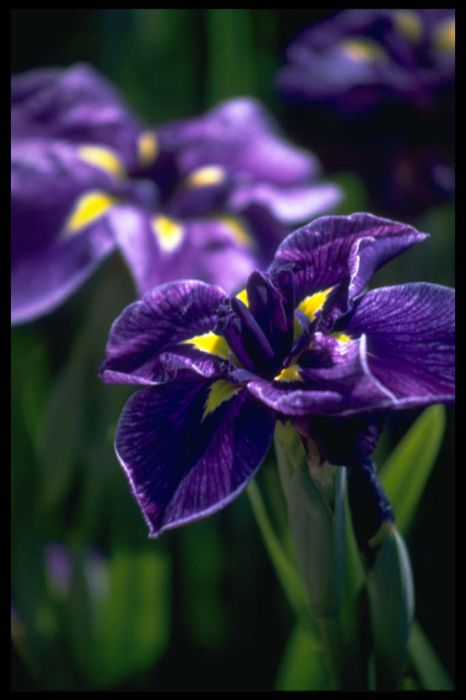 Japanese water iris 'Katy Mendez'