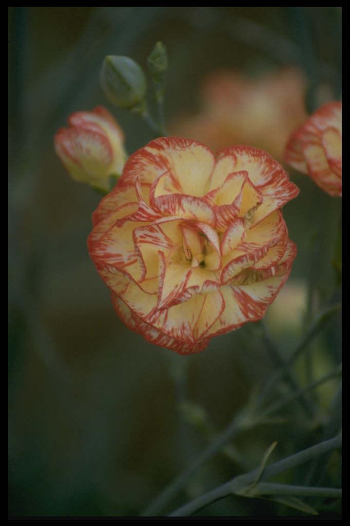 border carnation 'Marion Robinson'
