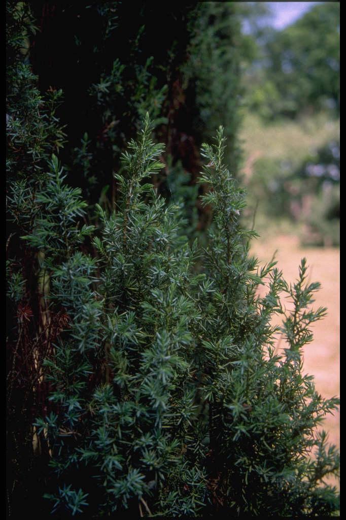 Irish juniper