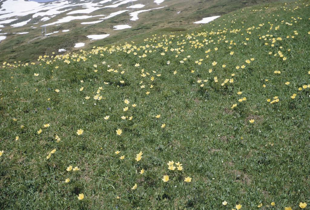 Pulsatilla alpina subsp. apiifolia   parsley-leaved pasqueflower/RHS ...