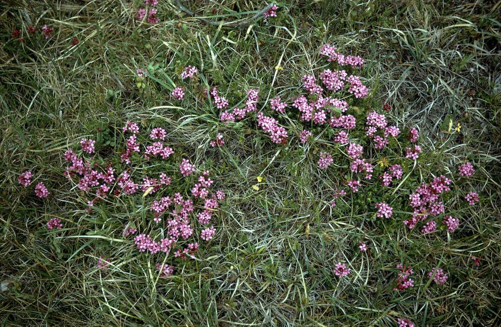 garland flower