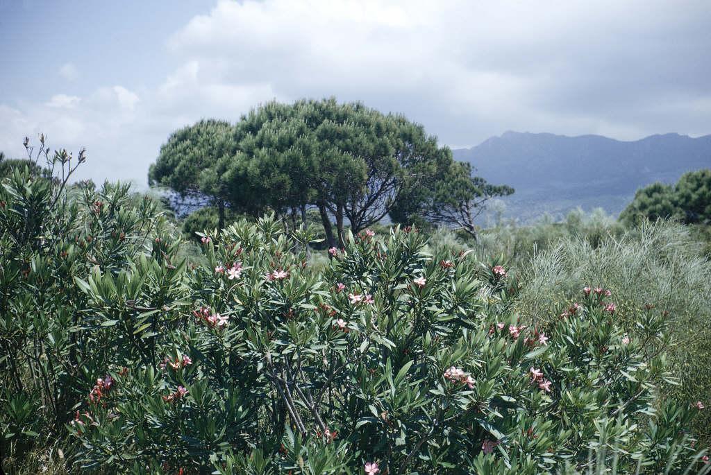 <i>Nerium oleander</i> L.