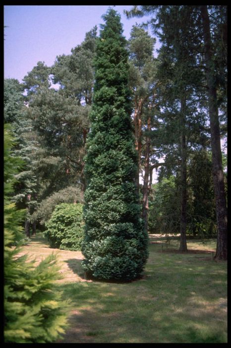 Lawson's cypress 'Grayswood Pillar'