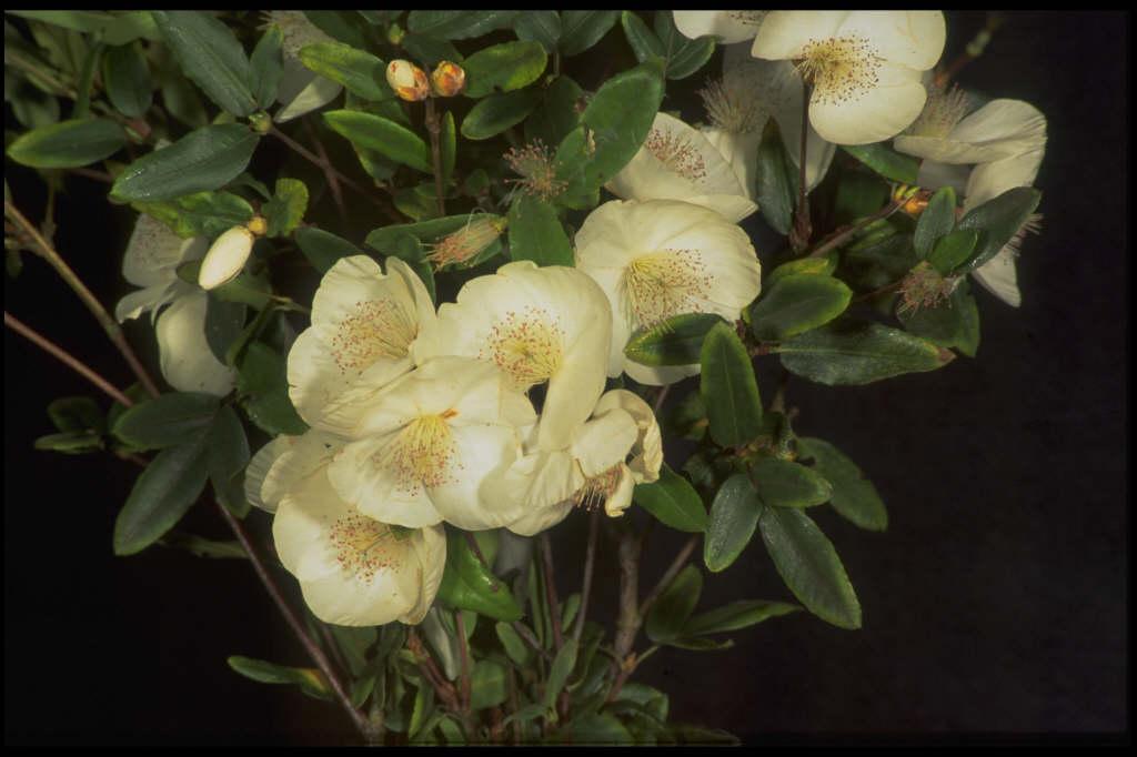 eucryphia 'Rostrevor'
