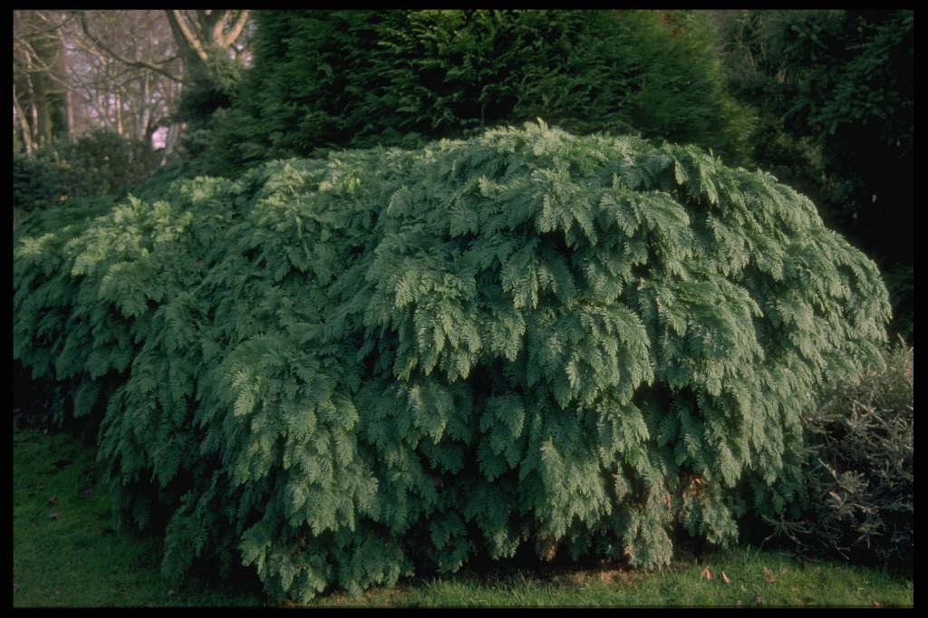 Lawson's cypress 'Tamariscifolia'
