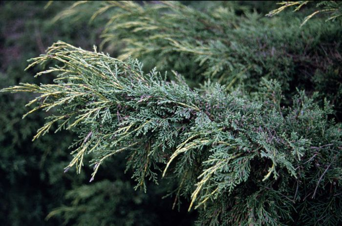 juniper 'Pfitzeriana Aurea'